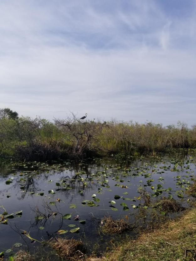 great blue heron, Shark Valley, Everglades National Park
