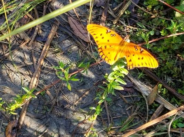 gulf fritillary, Big Cypress National Preserve