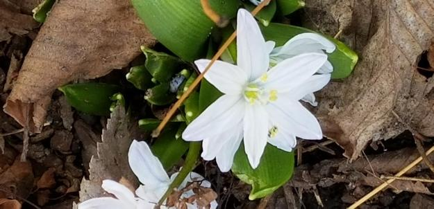 scilla, Mary L. Ripley Garden