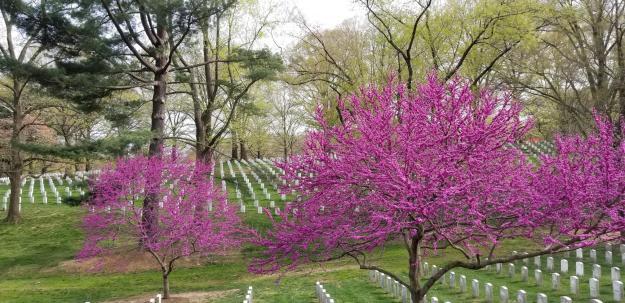 redbuds (Cercis canadensis) and gravestones
