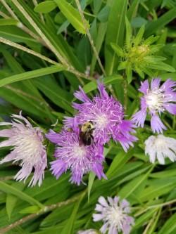 bee on Stokesia laevis (Stokes' aster)