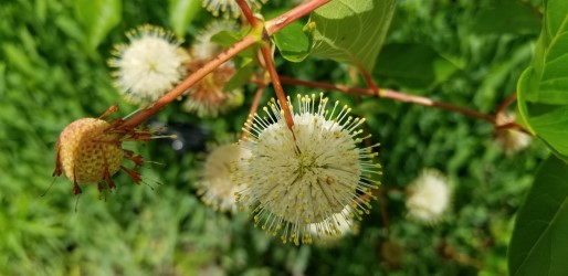Cephalanthus occidentalis (common buttonbush)