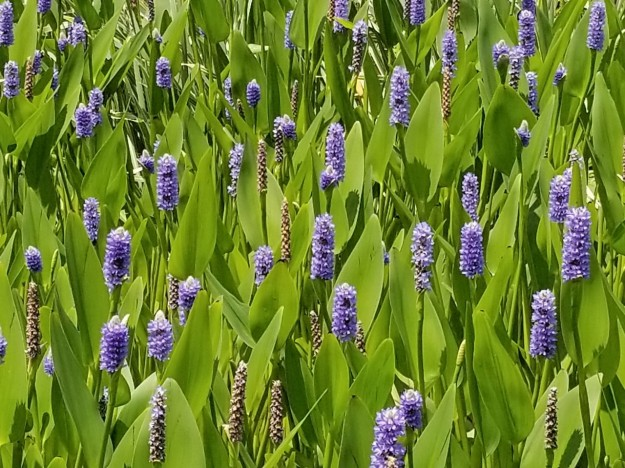 Pontederia cordata (pickerelweed)