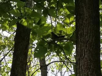 catbird in catalpa, Cuyahoga Valley National Park