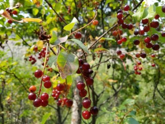 chokecherry, Sinks Canyon State Park, Wyoming