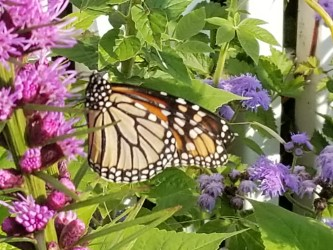 monarch, Mackinac Island