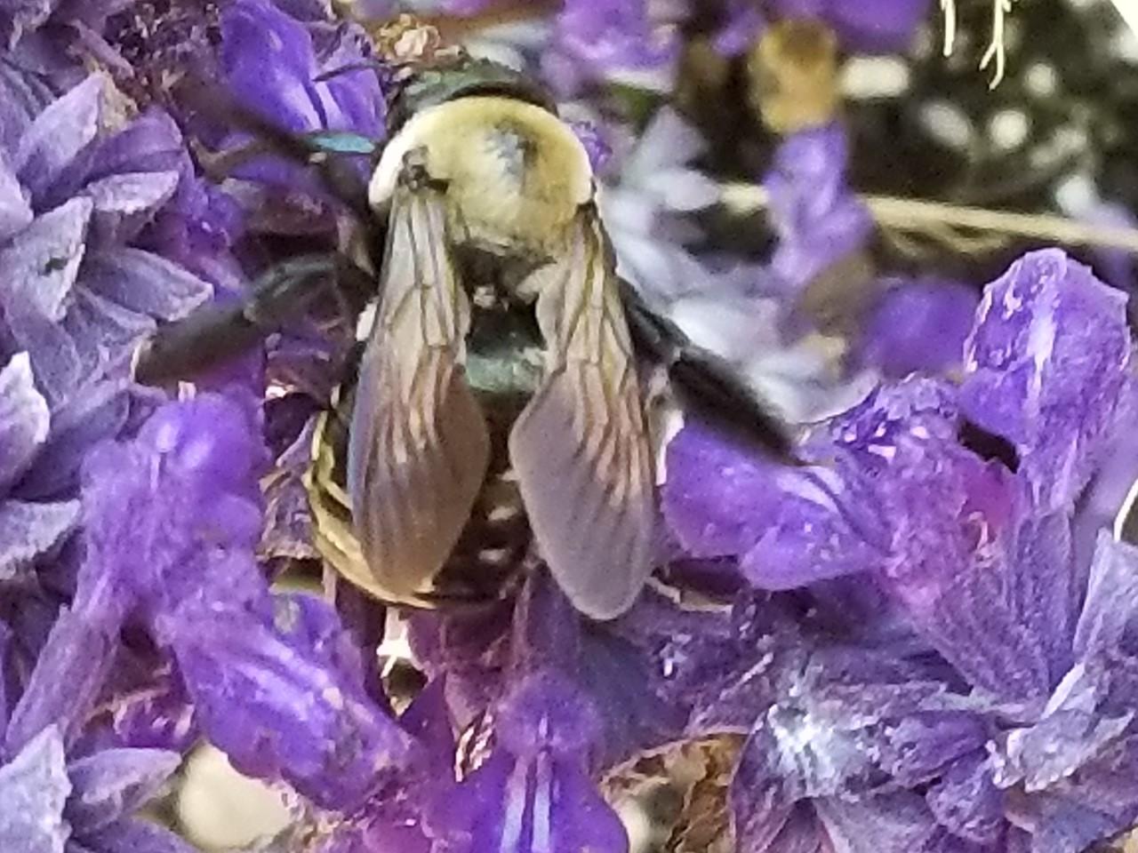 bumblebee, Mary Livingston Ripley Garden