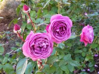 """Plum Perfect"" floridbunda, Kathrine Dulin Folger Rose Garden"