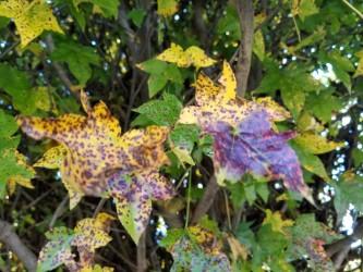 sweetgum leaves, Gotelli Collection, National Arboretum