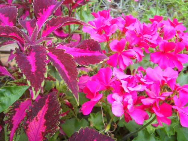 coleus and ivy-leaved geranium